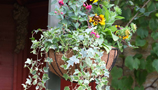 Hanging Baskets (18)